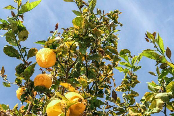 branches-bright-citrus-fruit-2872846